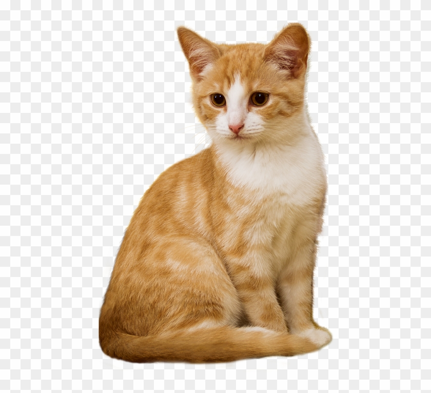 Cat Png Kitten Sit Isolated Red White Attention Orange And White Cat Transparent Png Download 498x720 256823 Pinpng