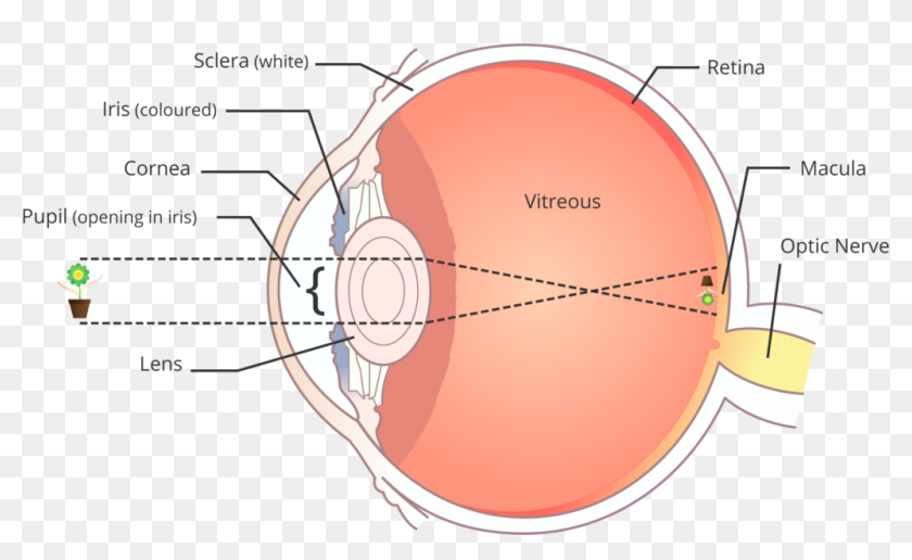 Light Rays Enter The Eye Through The Cornea The Clear - Eye