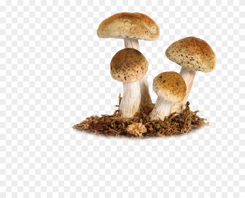 Mushroom Png Image Mushrooms Png Transparent Png Download