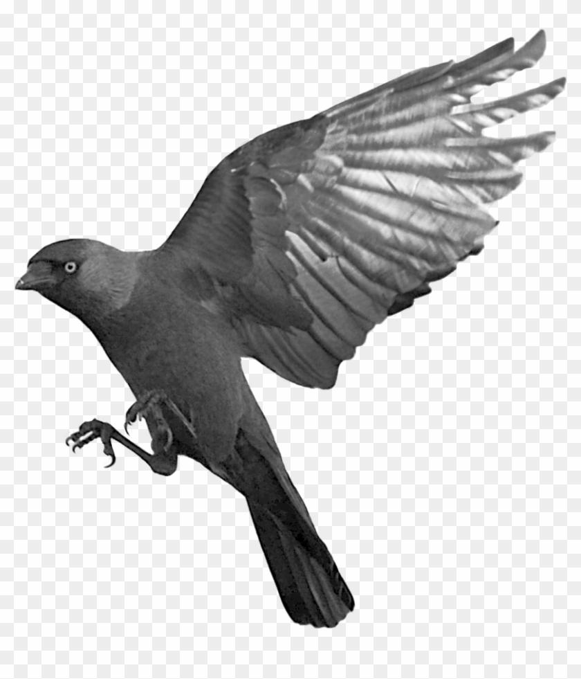 Raven Flying Transparent Png - Flying Black Birds Png, Png Download